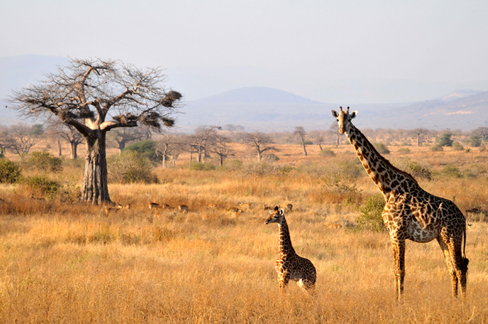 ruaha-landscape-giraffes