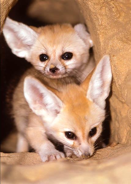 sanai-fox