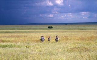 serengeti_zebras
