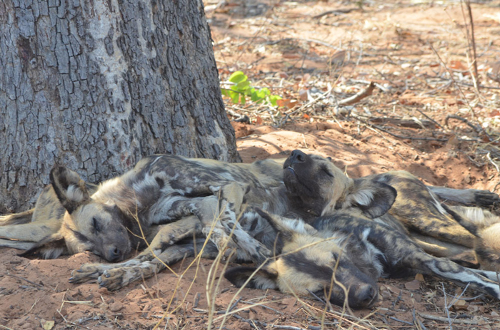 sleeping-wild-dogs