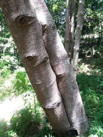 smooth-tree-trunk