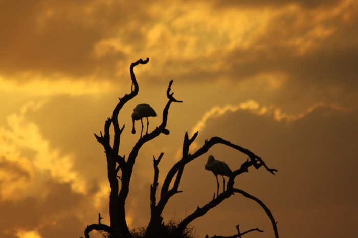 Spoonbills at sunset in the Kruger National Park © Characterstays