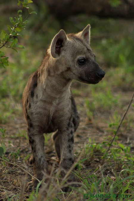 Curious Hyena Cubs Amp Facts About Hyenas Africa Geographic