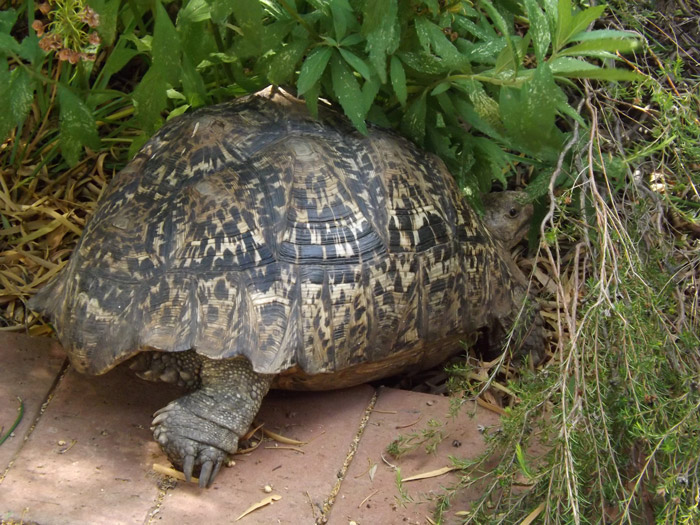 The leopard tortoise has a life span of 50 years or more, and is a solitary reptile that spends most of their time grazing on fibre grasses and greens. On average, they are about 40-50cm long and weigh 18-23kg. This reptile is brown and yellow in colour. It is found in the savannahs of eastern and southern Africa, from Sudan to the Southern Cape. You may not get to see a group of these guys but you could see the same one over and over again throughout your lifetime.