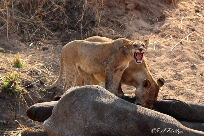 two-lions-feast-on-elephant