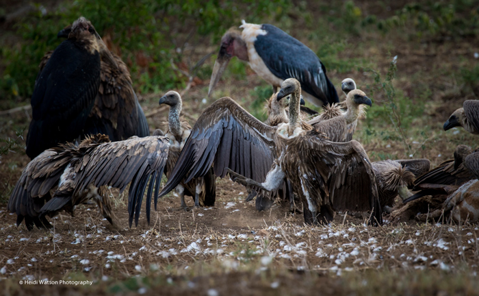 vultures-bush-scavengers