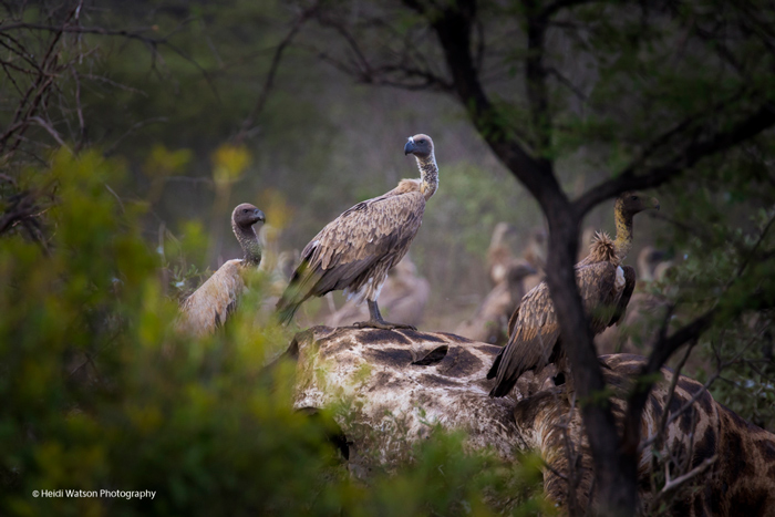 vultures-on-giraffe-carcass
