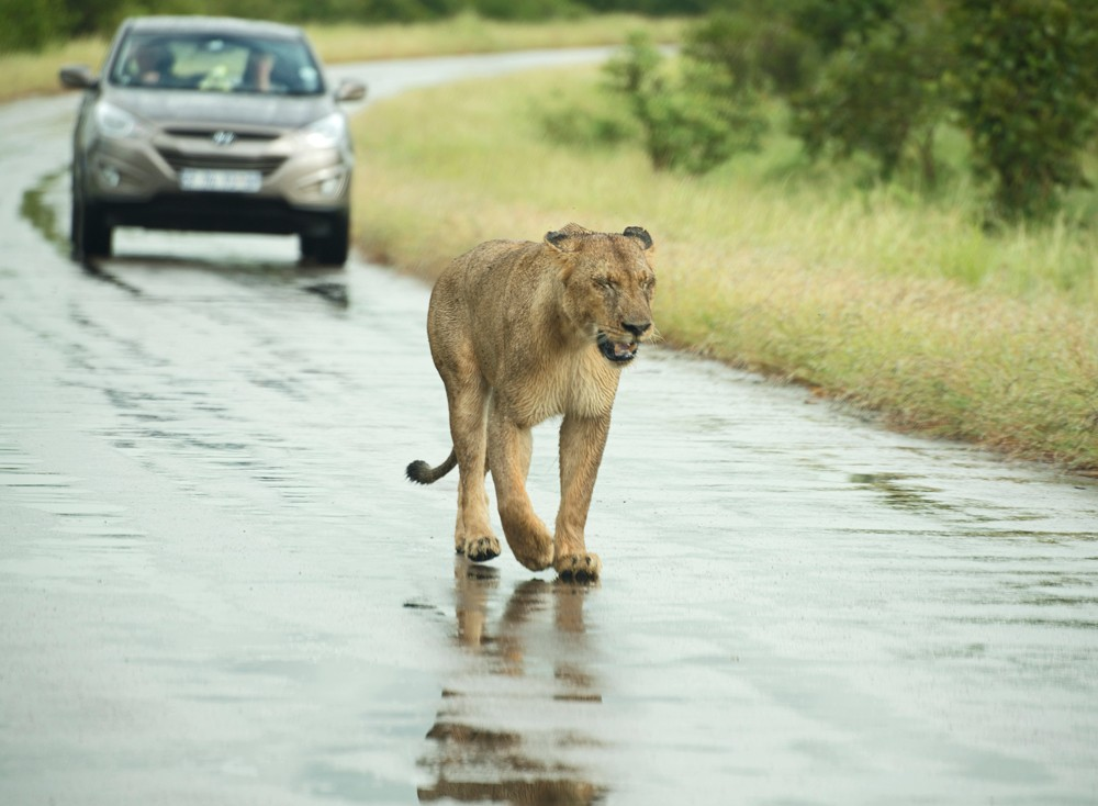 wet-lion-kruger-sally-robinson