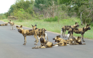 wild-dogs-cheetah-paw-ecolodge