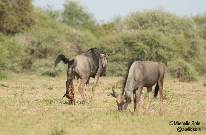 wildebeest-gives-birth