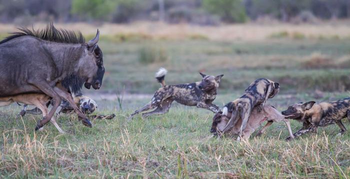 Wildebeest Fight Wild Dogs Off Their Calves Africa