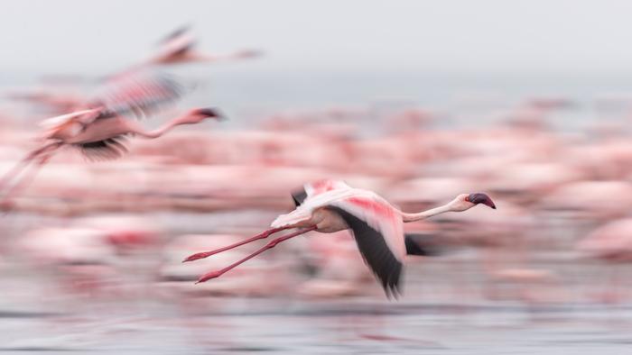 wildlife-photography-birds-flamingo