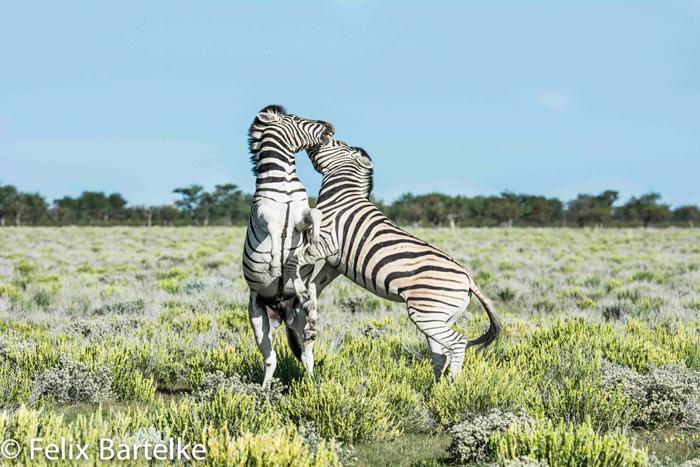 zebra-felix-bartelke