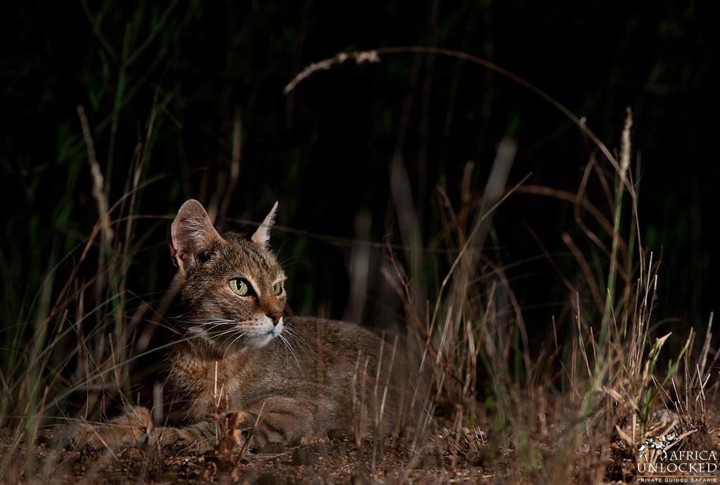 African Wildcat 2-
