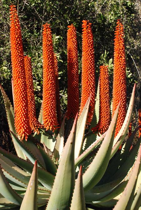 Aloe-ferox-Andrew-Hankey
