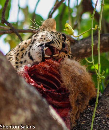 Chipahadzuwa-leopard-Puku-kill-luangwa