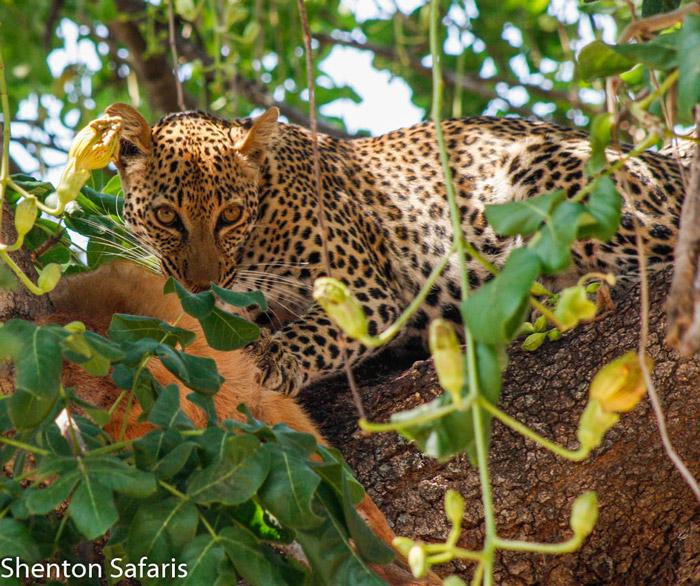 Chipahadzuwa-leopard-Puku-kill-south-luangwa