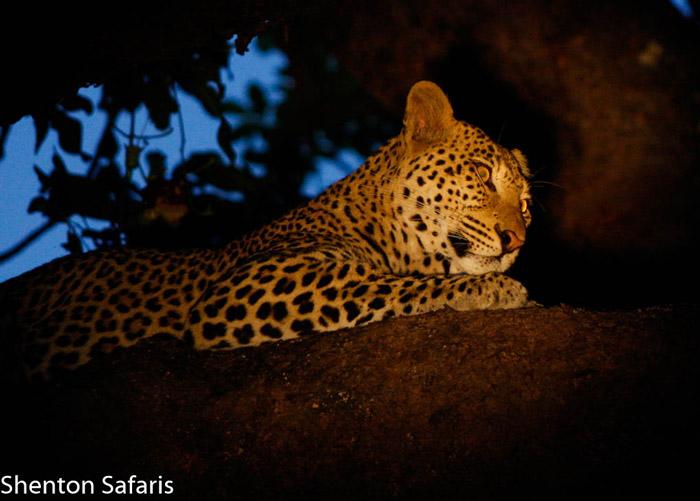 Chiphadzuwa-leopard-luangwa