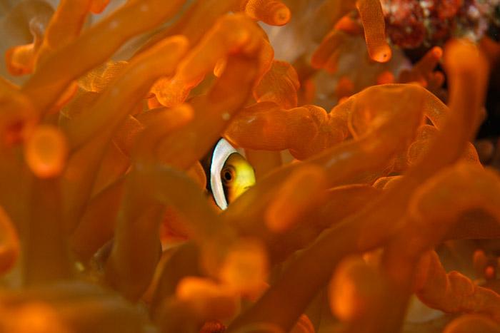Diving---Clownfish-at-Anantara-Medjumbe