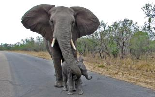 Elephant-protects-calf-thumbnail