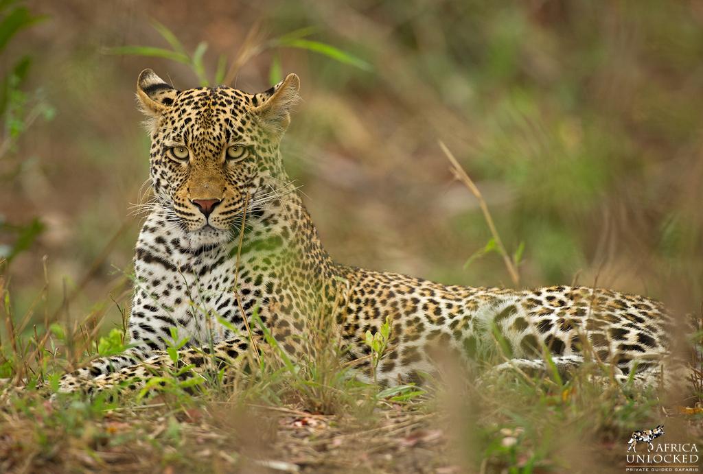 Leopard Female-