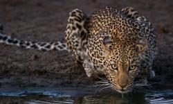 Leopard-umlani