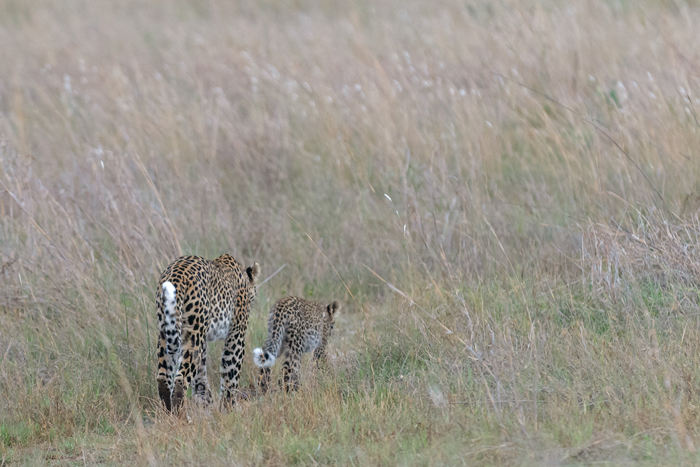 Leopard-with-cub