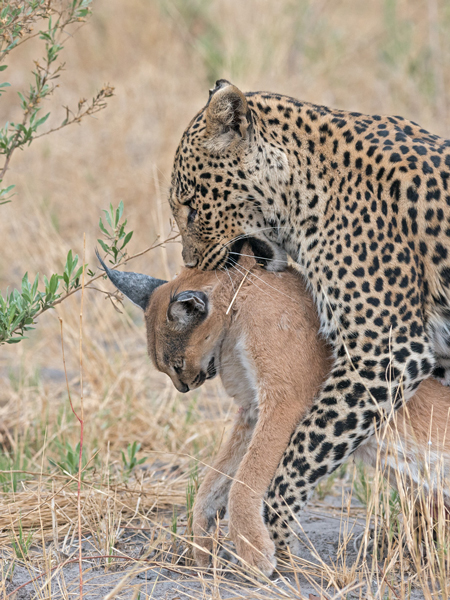Leopard_kills_Caracal