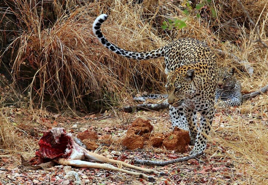 Leopards-Timbavati
