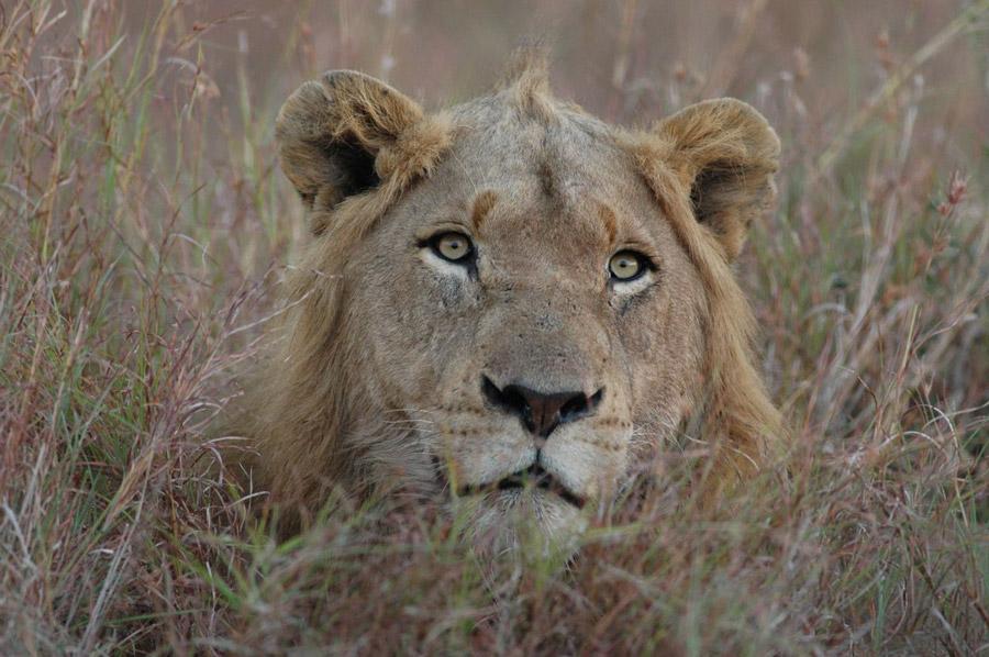 Lion-in-Grass-kruger