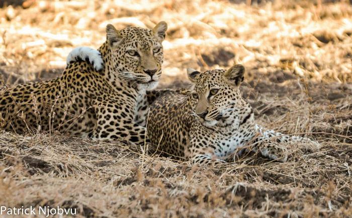 Malaika-Chiphadzuwa-leopard-and-cub