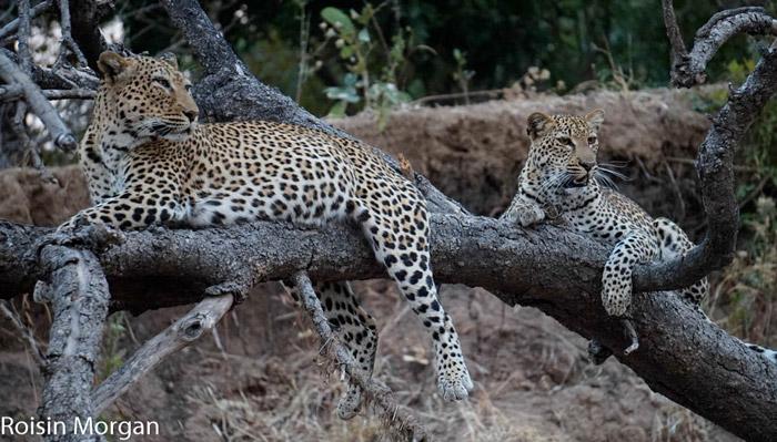 Malaika-Chiphadzuwa-leopards