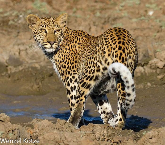 Malaika-leopard