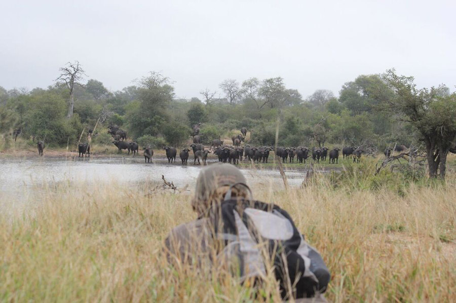 On-foot-with-Cape-Buffaloes
