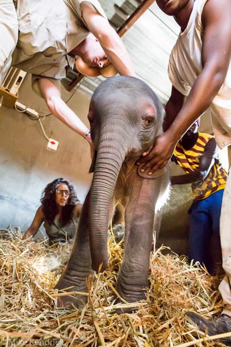 Rescue-Elephant-Calf
