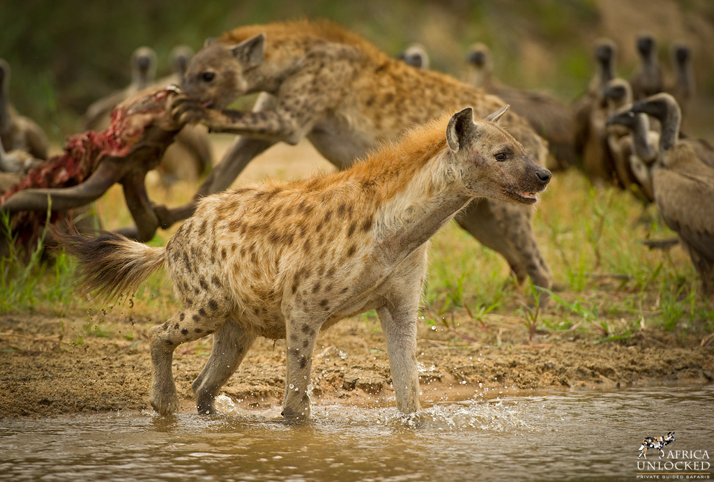 Spotted Hyena-2