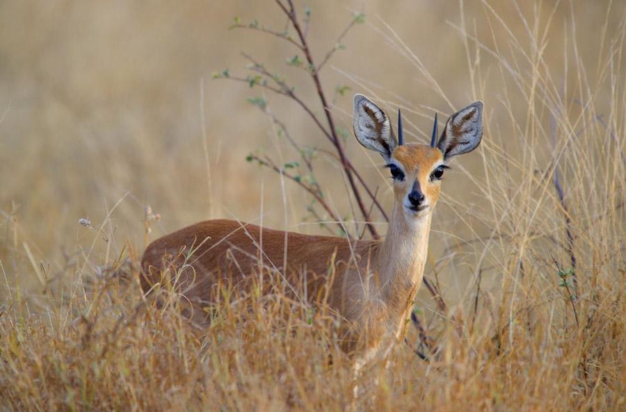 Steenbok-klaserie