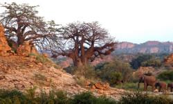 Tuli-Safari-Lodge-baobabs-&-elephants