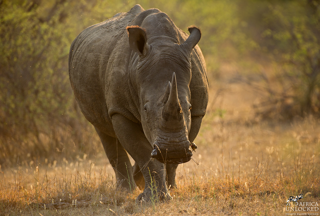 White Rhino 2-