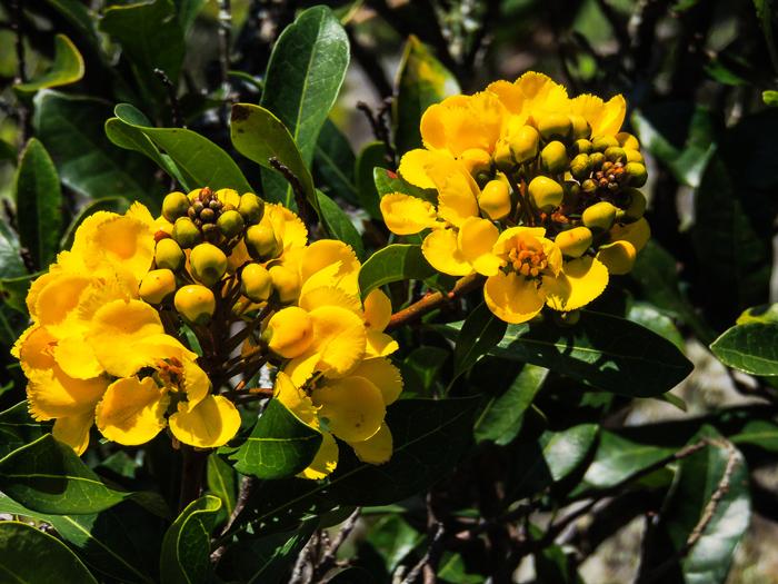 acridocarpus-natalitius-var.-natalitius-fosters-folly