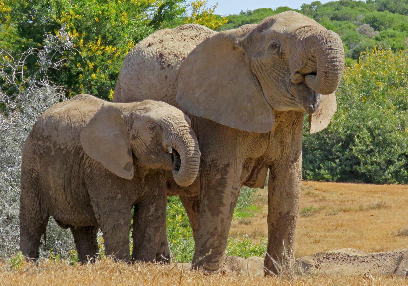 addo-park-drinking-elephants-trevor-mare