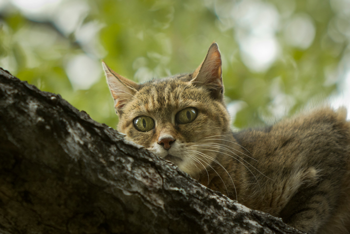 a closer look at the african wildcat