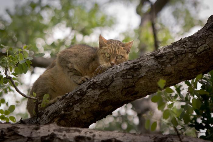 african-wild-cat-in-tree