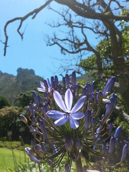 agapanthus-flower