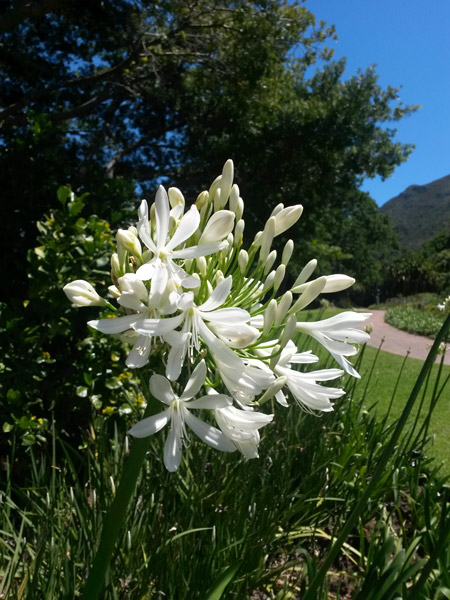 agapanthus-plant