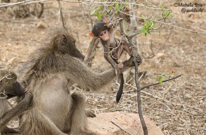 baboon-climbing-branch