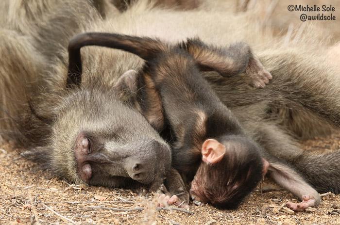 baboon-cuddle