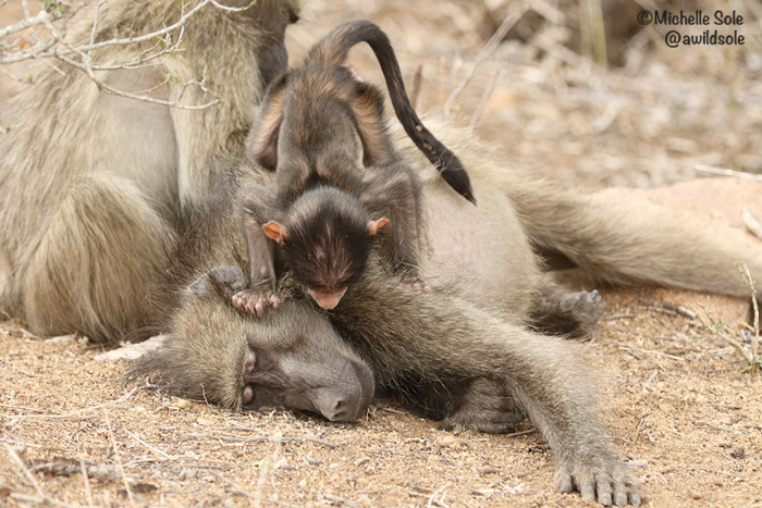 baboon-jumping-on-his-mum