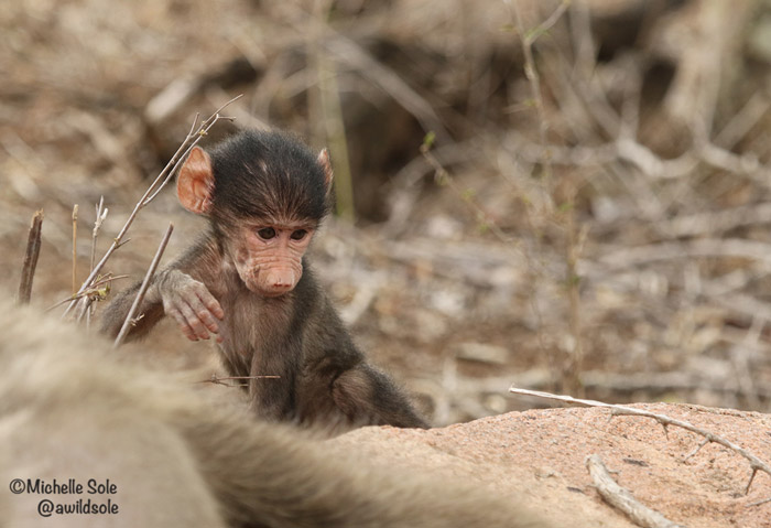 baboon-playing-on-a-rock
