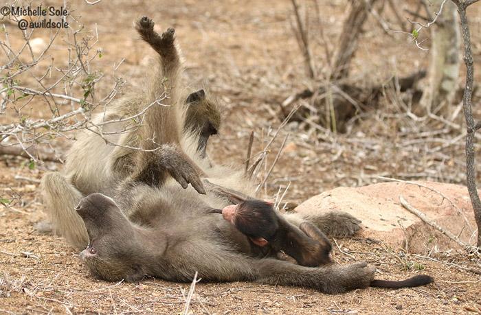 baboon-suckling